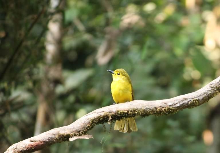 Yellow Bulbul