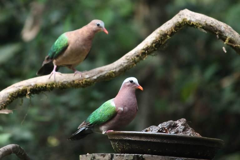 Emerald Doves